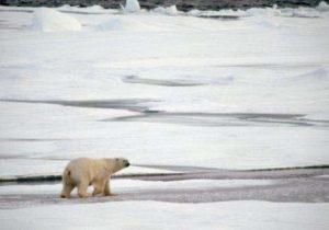 Cambio climático: la extinción de los osos polares sería inminente