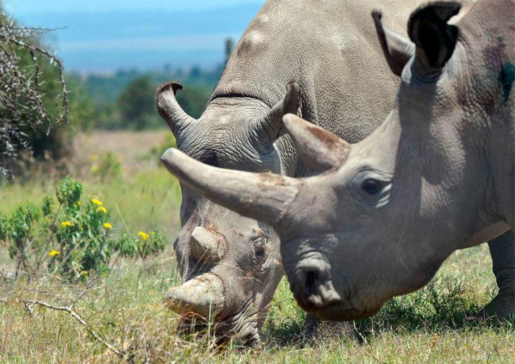 La historia de Najin y Fatu, los dos últimos rinocerontes blancos del norte