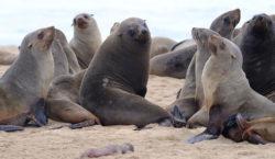 Encontraron más de 7.000 focas muertas en una playa de…