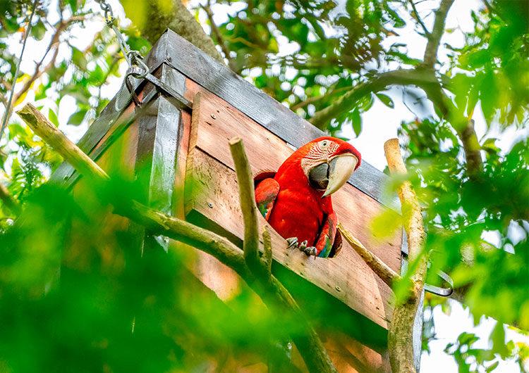 Corrientes: nacieron tres guacamayos rojos luego de 150 años de extinción en estado silvestre