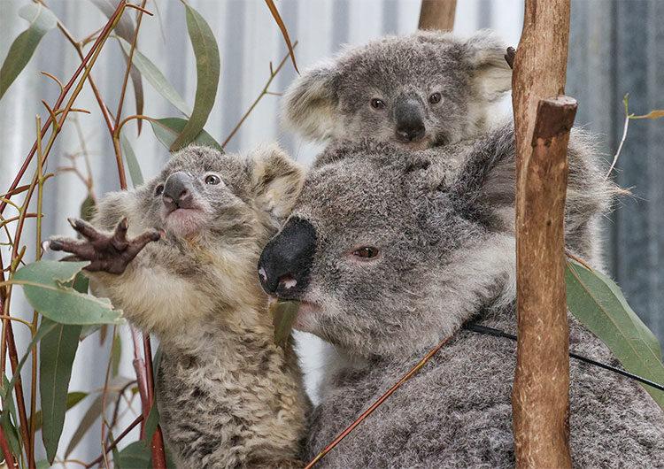 Incendios y enfermedades amenazan la supervivencia de los koalas en Australia