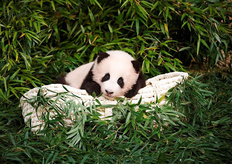 Fu Bao, el primer panda nacido en Corea del Sur