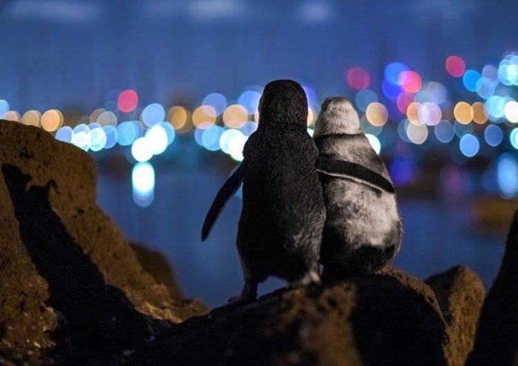 Dos pingüinos viudos que se abrazan en la fotografía ganadora del Ocean Photography Award