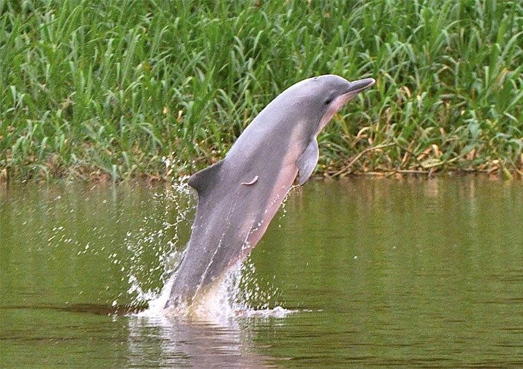 El delfín gris de Sudamérica fue categorizado «en peligro de extinción»