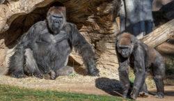 San Diego: dos gorilas con Covid son los primeros casos…