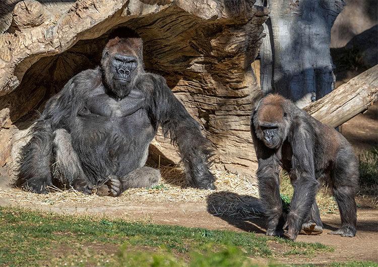 San Diego: dos gorilas con Covid son los primeros casos conocidos en estos mamíferos