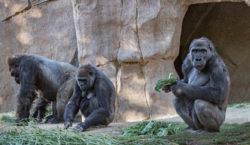 Los gorilas del zoo de San Diego se están recuperando…