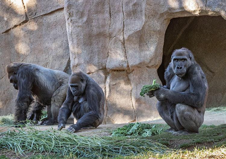 Los gorilas del zoo de San Diego se están recuperando de Covid