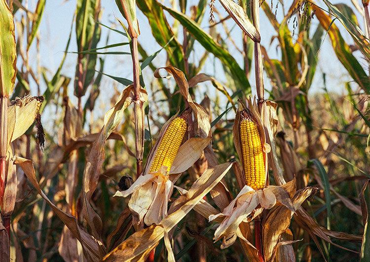 El Gobierno reabre las exportaciones de maíz, pero continúa el paro del campo