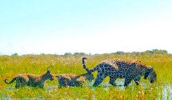 Corrientes: los yaguaretés ya viven completamente libres en el Parque…
