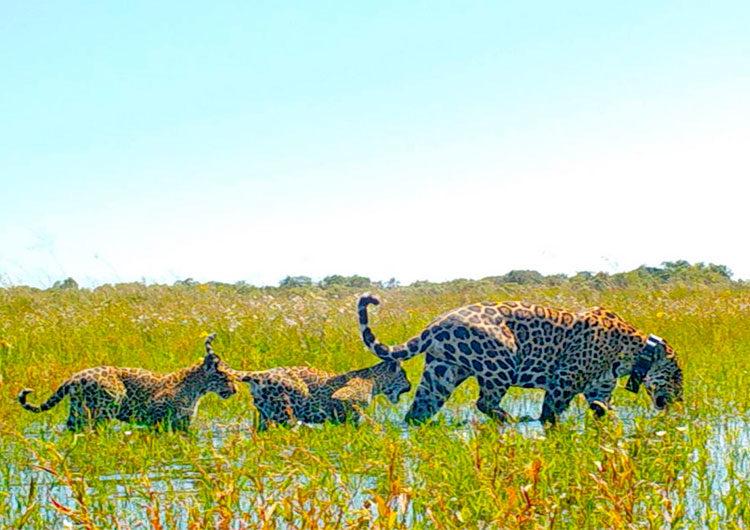 Corrientes: los yaguaretés ya viven completamente libres en el Parque Iberá
