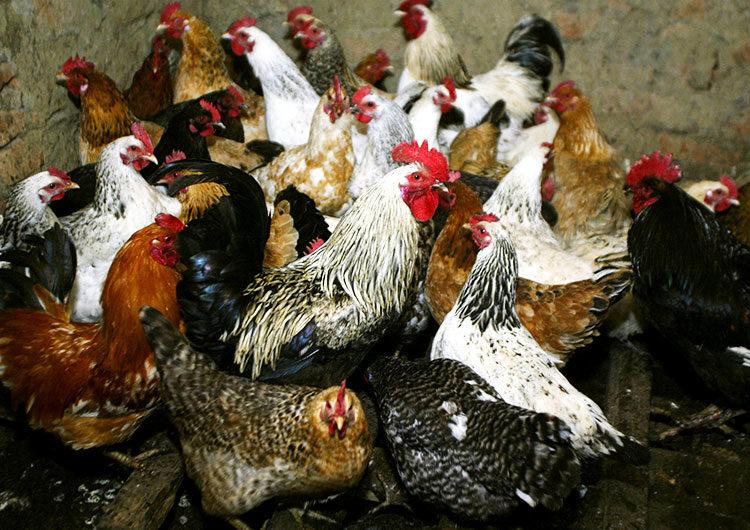 Rusia reporta el primer caso en el mundo de infección humana con cepa H5N8 de gripe aviar
