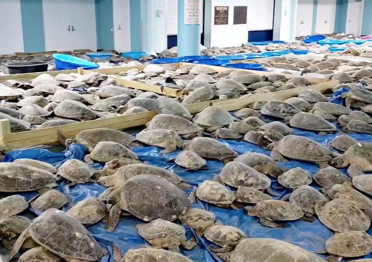 Miles de tortugas marinas son rescatadas frente a la costa de Texas por la brutal ola de frío
