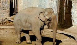 Mendoza: preparan el traslado de dos elefantas a un santuario…