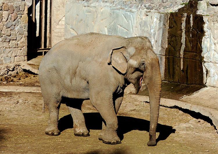 Mendoza: preparan el traslado de dos elefantas a un santuario de Brasil