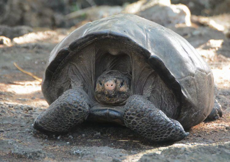 Tortuga gigante que se creía extinta desde hace 112 años busca pareja para salvar su especie