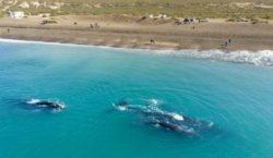 Puerto Madryn inauguró la temporada de ballenas, un espectáculo conmovedor…